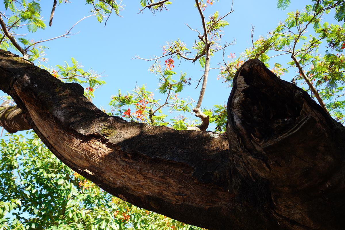 Một vài nhánh và gốc đã bị mục, ruỗng. Ảnh: Trần Hóa.