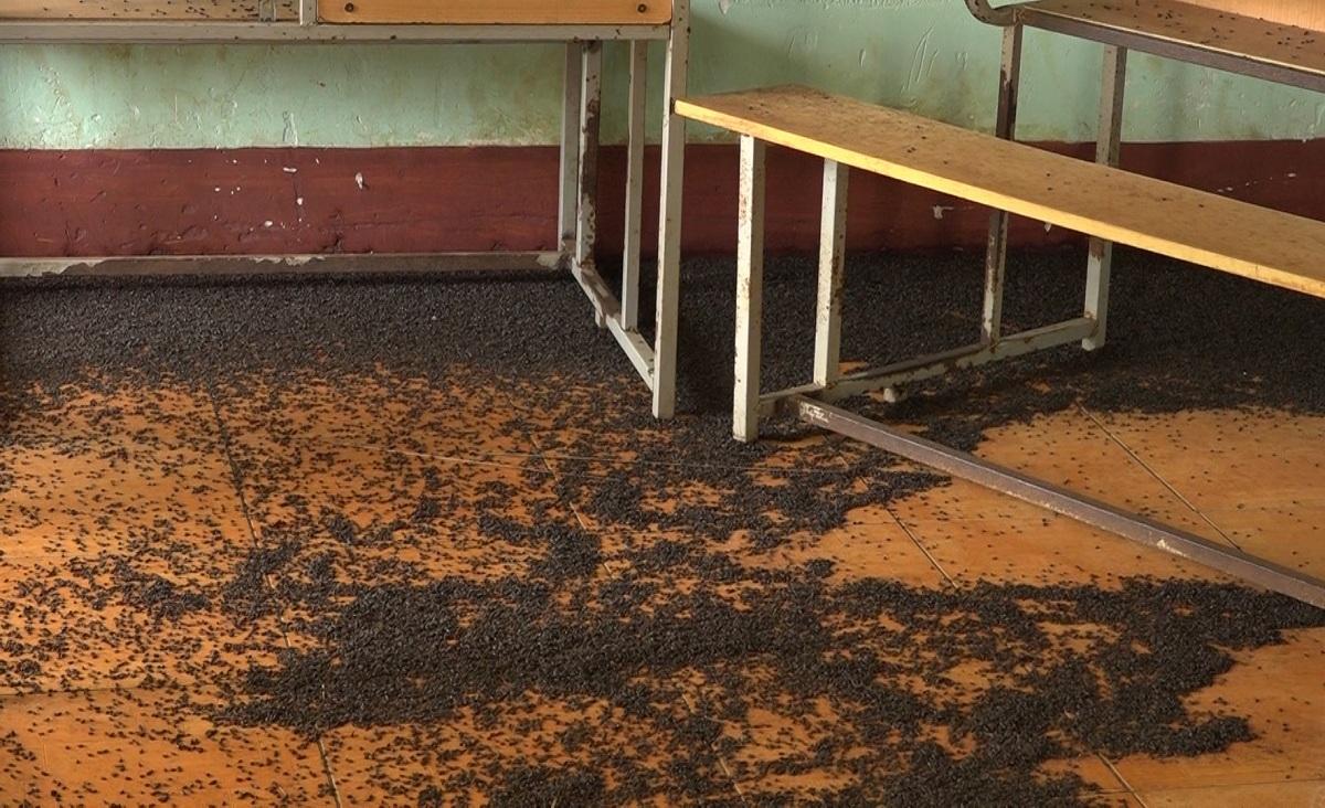 Bọ đen xuất hiện dày đặc thành mảng ở nền phòng học trường Tiểu học và Trung học cơ sở An Phú, thị xã Bình Long, tỉnh Bình Phước. Ảnh: Văn Trăm.