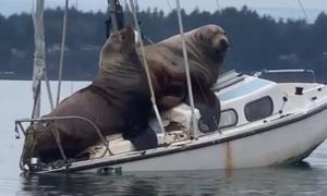 Đôi sư tử biển mượn du thuyền dạo mát