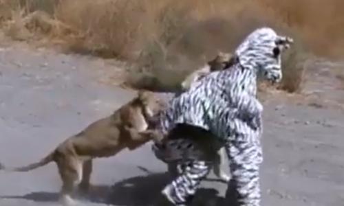 Sư tử chịu đóivì bị ngựa vằncắn - 2