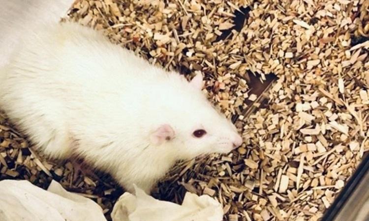 Một trong những con chuột được cấy ghép lá gan cỡ nhỏ. Ảnh: Sci Tech Daily.