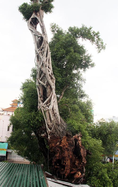 Phần thân cây da từ mái nhà ông Sa trở lên, cách mặt đất khoãng 4 m. Ảnh: Cửu Long