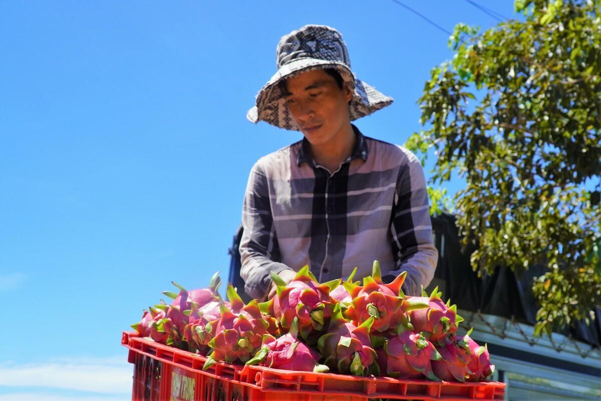 Anh Nguyễn Hoài Lân, nông dân xã Hàm Hiệp, buồn rầu vì thanh long thu hoạch đầu vụ bán với giá quá thấp. Ảnh: Việt Quốc.