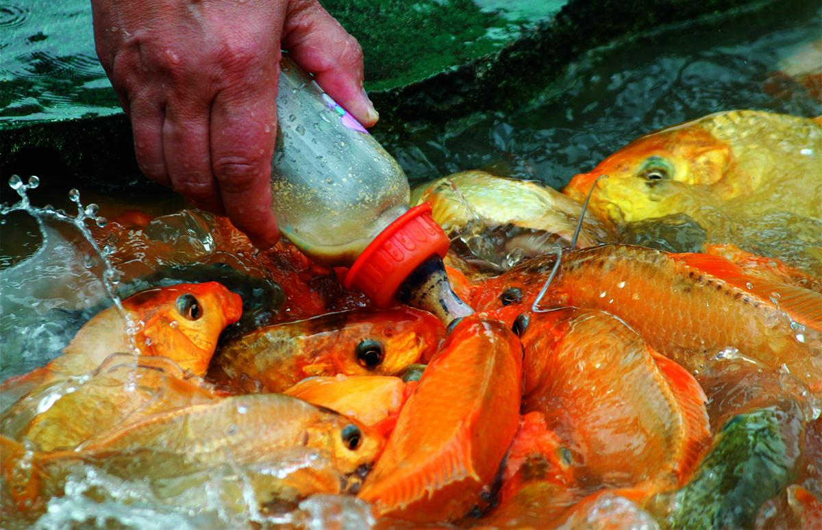 Đàn cá ngôi lên để bú khi du khách thả bình chứa thức ăn xuống. Ảnh: Xuân Ngọc.