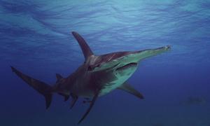 Cá mập đầu búa phát hiện con mồi gặp nạn cách 1,6 km