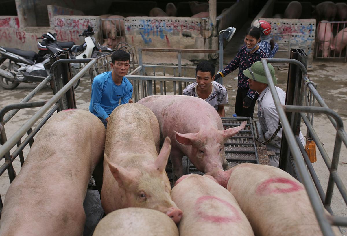 Mua bán lợn ở chợ đầu mối An Nội, Bình Lục, Hà Nam. Ảnh: Tất Định.