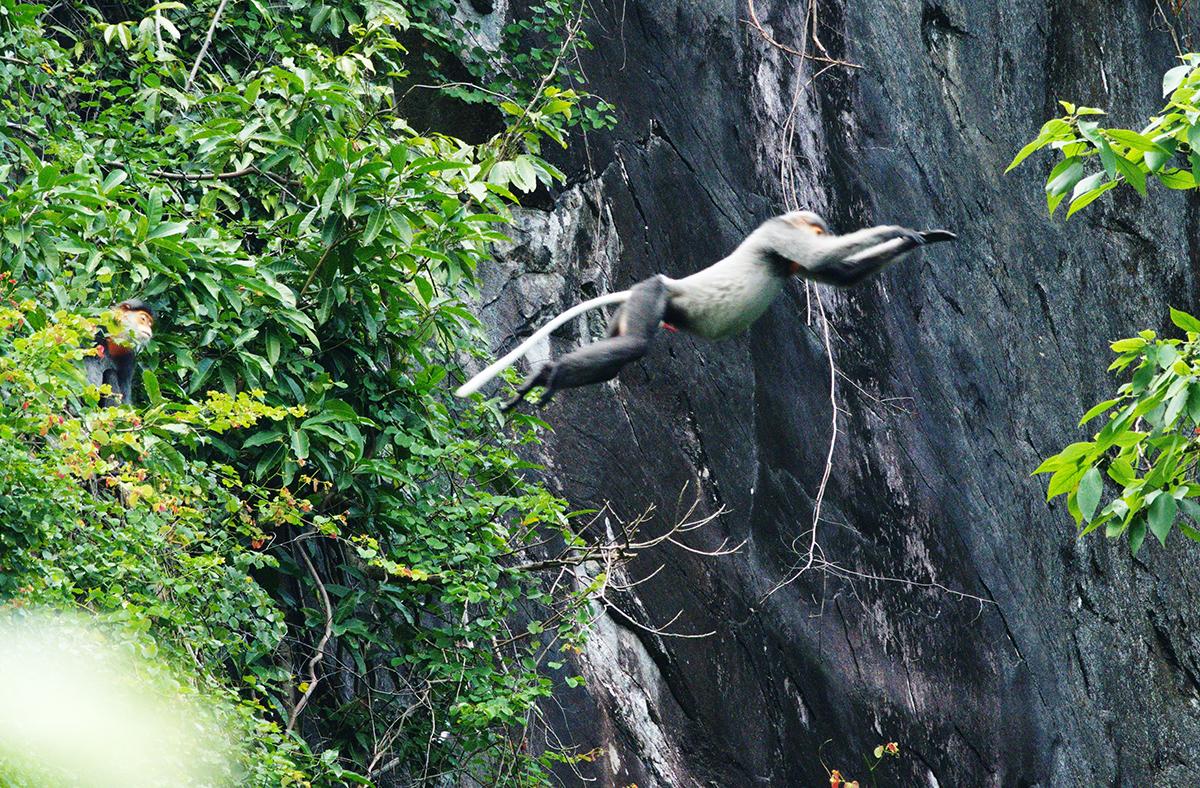 Một con voọc nhảy từ cây này qua cây khác trong lúc đi ăn. Ảnh: Bùi Văn Tuấn.