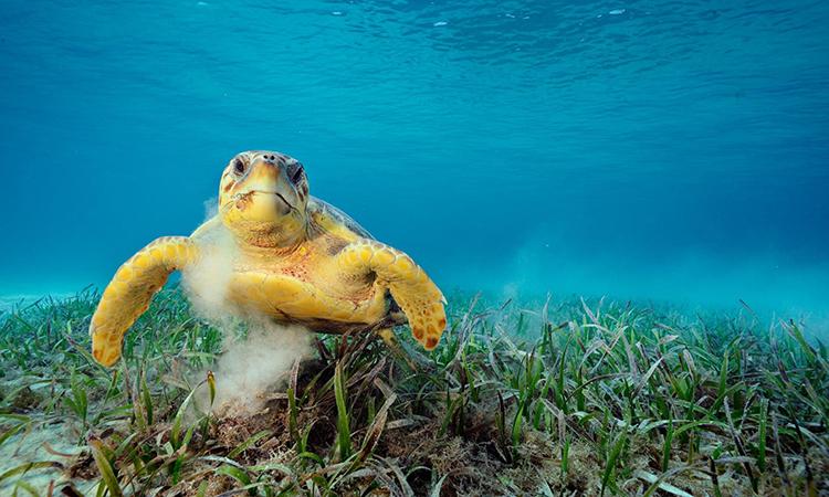 Rùa quản đồng hiện là động vật dễ bị tổn thương trong Sách Đỏ IUCN. Ảnh: National Geographic.
