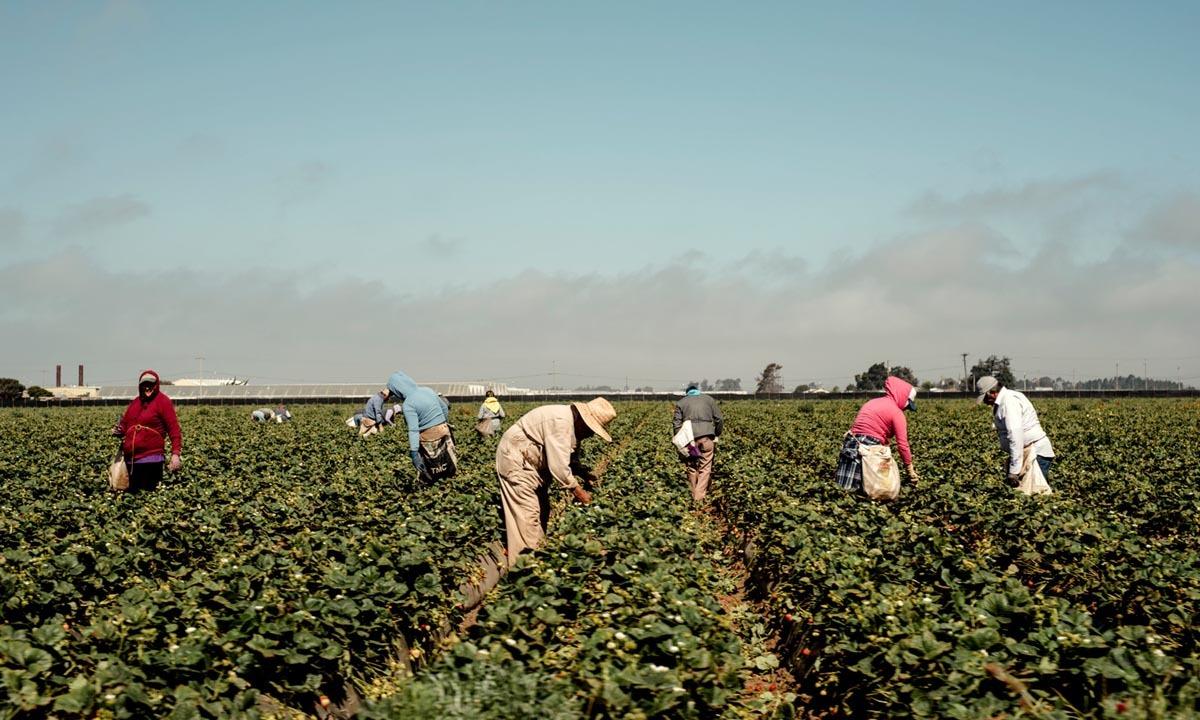 Lao động nhập cư thu hoạch dâu tây ở thung lũngSalinas, bang California, hồi tháng 4. Ảnh: NYTimes.