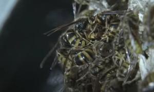 Ong bắp cày khổng lồ đoạt tổ của đàn ong 1.500 con