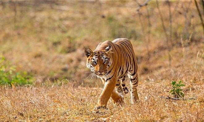 Con hổ giết chết người chăn gia súc ngăn cản nó săn mồi. Ảnh: Daily Star.
