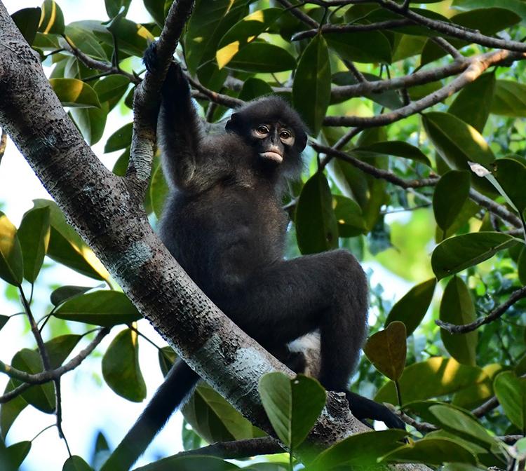 Một cá thể Presbytisrobinsoni mới được phân loại là loài mới. Ảnh:Lee Zan Hui.