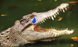 Cá sấu chảy nước mắt khi nào?