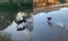 Chó dùng Lăng ba vi bộ chạy trên mặt nước