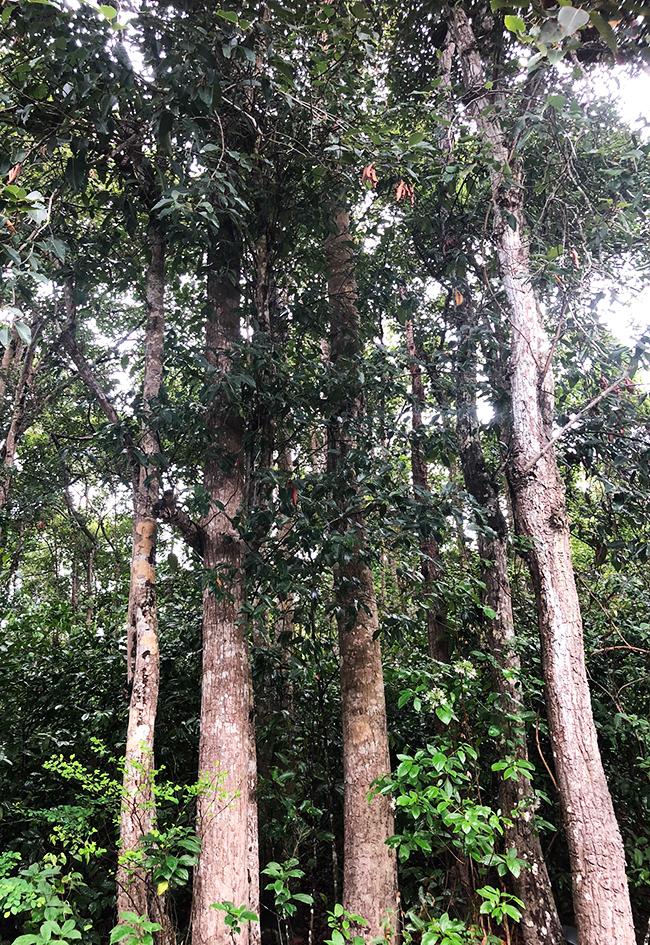 Những cây dầu tự nhiên trên khu đất rừng phòng hộ rộng hơn 26.000 m2, UBND huyện Côn Đảo có ý định chặt hạ để làm khu tái định cư. Ảnh: Hắc Minh.