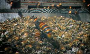 Ong bắp cày khổng lồ tàn sát 30.000 ong mật