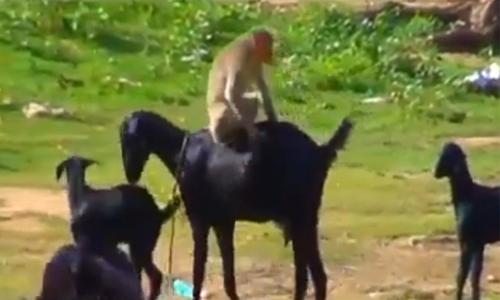 Khỉ con hụt hẫng vì không được ăn chuối - 3