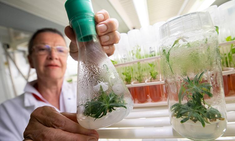 Cây mọc từ hạt giống 32.000 năm tuổi ra hoa hôm 30/6 trong phòng thí nghiệm. Ảnh: CGTN.