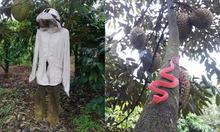Cách chống trộm bá đạo của chủ vườn sầu riêng