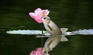 Cá trắm nhảy đớp trụi bông sen