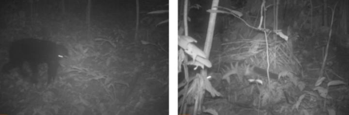 Bẫy ảnh ghi nhận sự xuất hiện của gấu ngựa tại thung Lâu Buốc Nặm và cầy vằn bắc tại thung Mó Chó. Ảnh: Khu bảo tồn Pù Luông cung cấp.