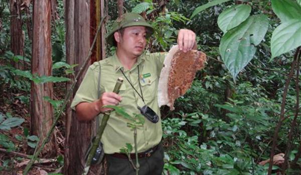 Cán bộ Khu bảo tồn thiên nhiên Pù Luông tìm thấy tảng mật ong - một loại thức ăn ưa thích của loài gấu ngựa. Ảnh: Lam Sơn.