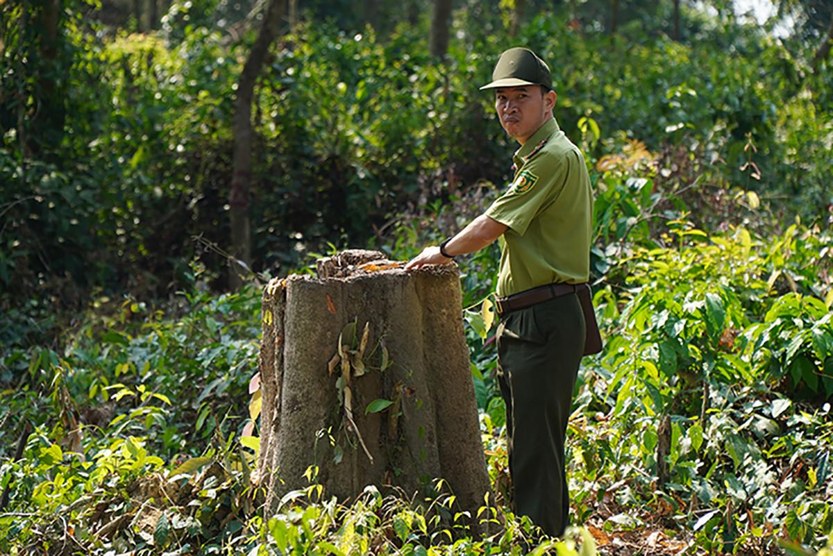 Kiểm lâm thống kê số lượng cây bị đốn hạ. Ảnh: Phước Tuấn