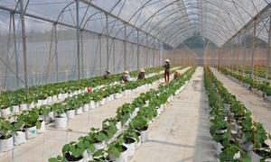 Chỉ hơn 7% doanh nghiệp nông nghiệp công nghệ cao thành công