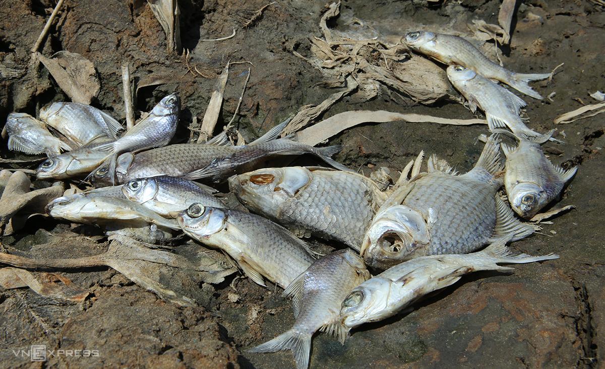 Chiều 13/7, cá chết xếp mái dọc sông Cấm ở huyện Nghi Lộc do nắng nóng. Ảnh: Nguyễn Hải.