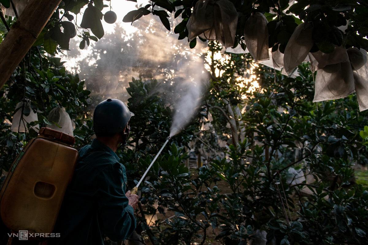 Đánh thuốc trị nhện đỏ trên cây bưởi ở ngoại thành Hà Nội. Ảnh: Thanh Huế.