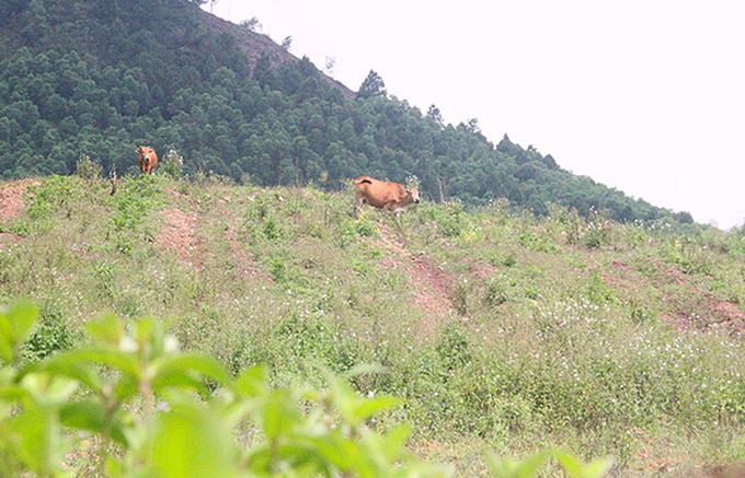 Một góc dự án nuôi bò ở Hà Tĩnh của Công ty Bình Hà. Ảnh: Đức Hùng.