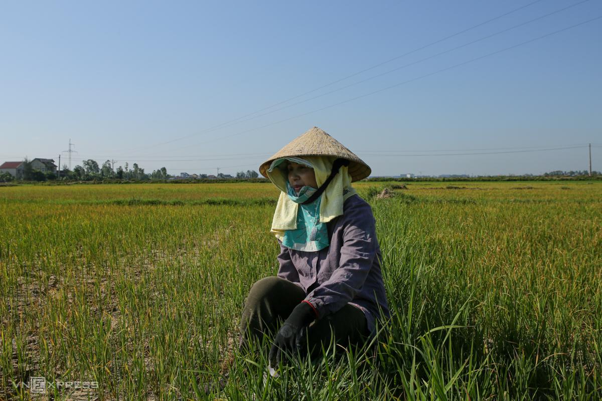 Chị Đào bên ruộng lúa gia đình không còn khả năng cứu vãn vì hết nước. Ảnh: Nguyễn Hải.