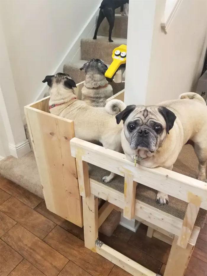Hai con chó già nhất thực sự thích cầu thang này, giờ nó không đi cầu thang bộ nữa - nó cứ ngồi đó và đợi để được đưa lên đưa xuống. Rất đáng yêu, cô chủ nói.