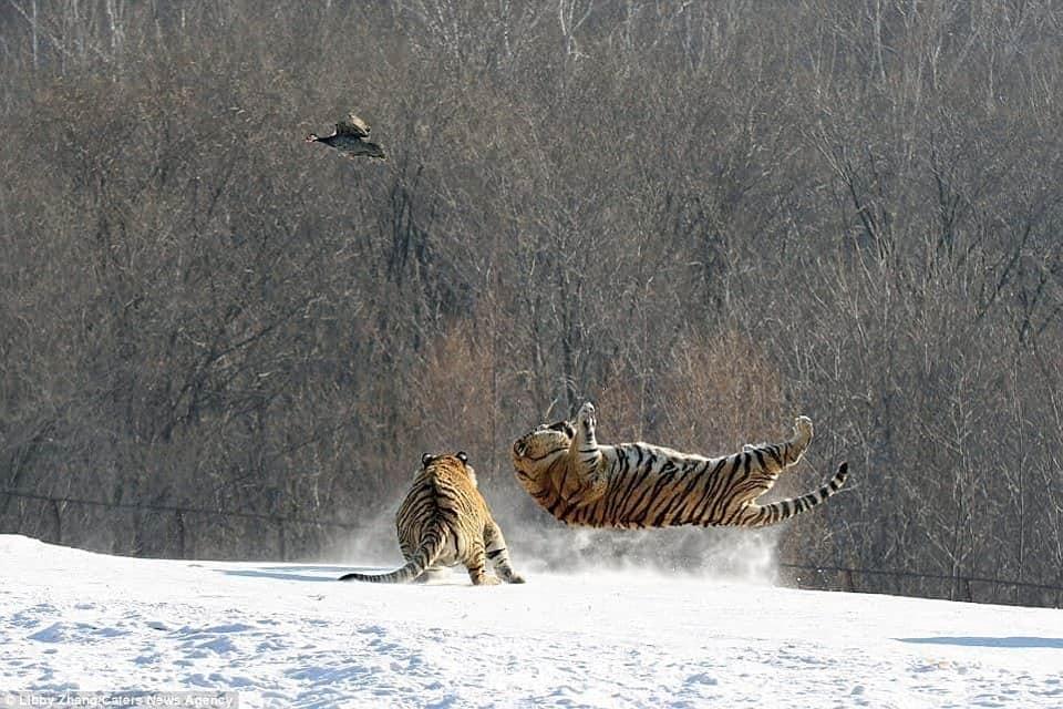 Hổ ngã chổng vó vì vồ hụt chim trời - 6