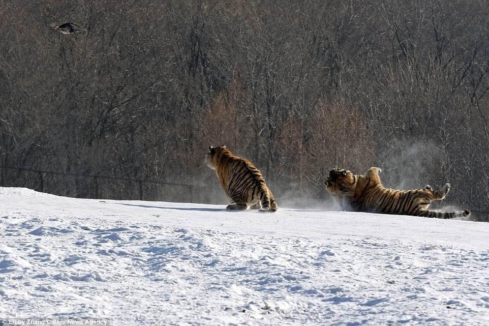 Hổ ngã chổng vó vì vồ hụt chim trời - 8