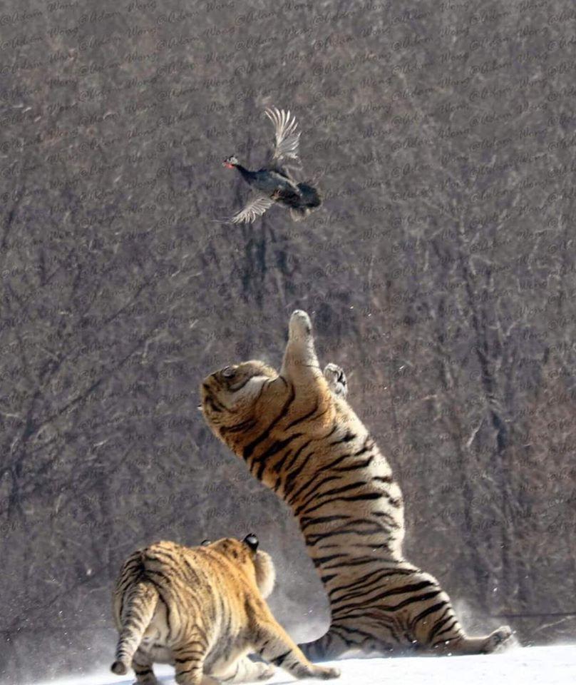 Hổ ngã chổng vó vì vồ hụt chim trời - 4