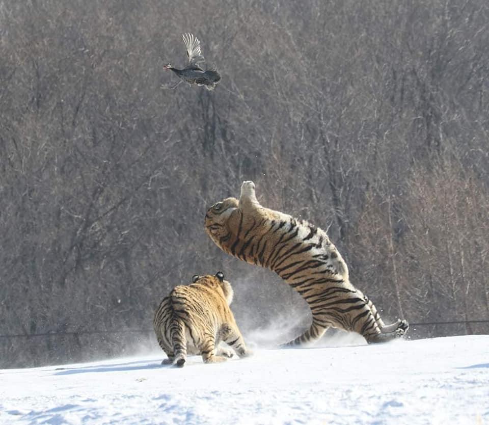 Hổ ngã chổng vó vì vồ hụt chim trời - 2