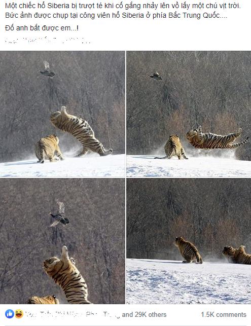 Hổ ngã chổng vó vì vồ hụt chim trời