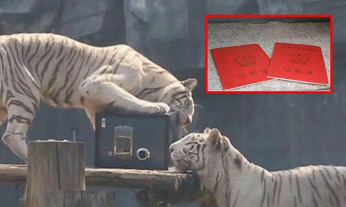 Hổ ngã chổng vó vì vồ hụt chim trời - 11