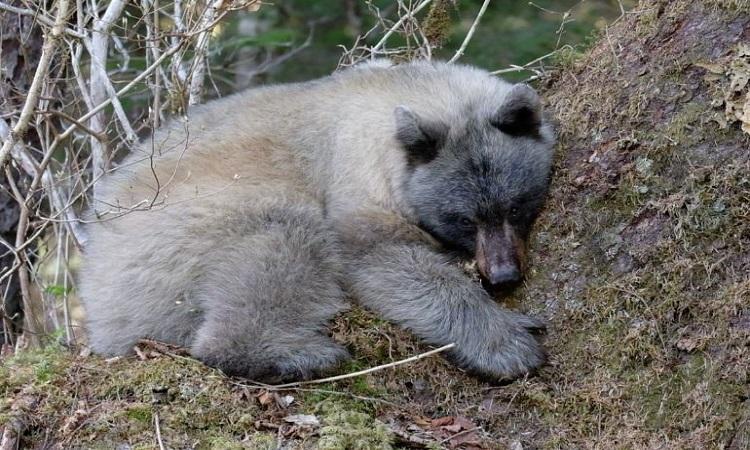 Một con gấu xanh nằm nghỉ dưới gốc cây ở Alaska năm 2018. Ảnh: National Geographic.