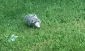 Chồn mẹ cõng 5 con băng qua sân nhà