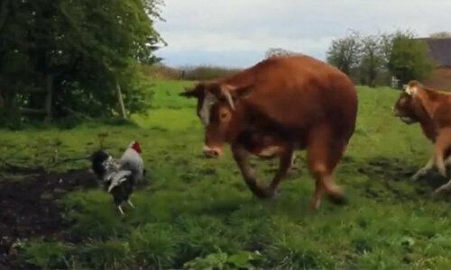 Còn bò thông minh nhất quả đất - 2