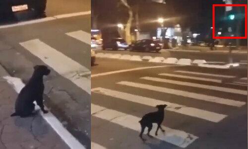Đàn vịt chờ đèn xanh sang đường - 1