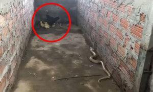 Gà mái đánh bại rắn hổ mang