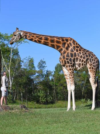 Kat Hansen đứng cùng Forest, hươu cao cổ cao nhất thế giới. Ảnh: ABC News.