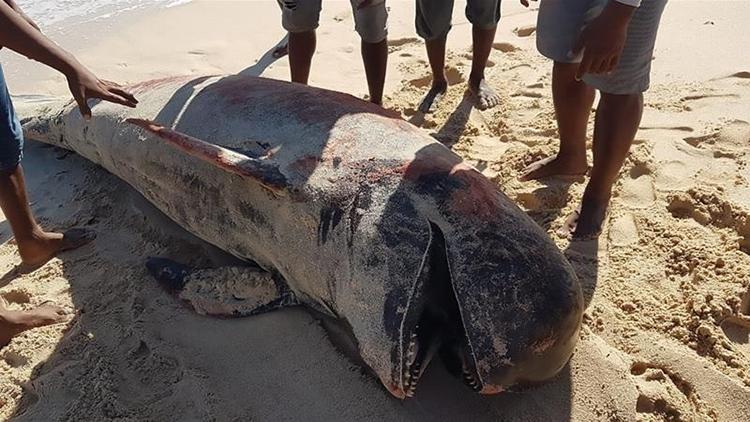 Xác một con cá voi hoa tiêu mắc cạn trên đảo Raijua. Ảnh: AFP.