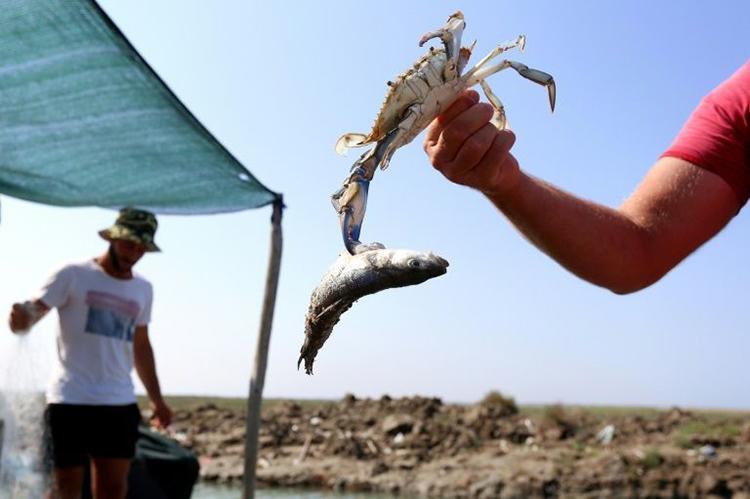 Một con cua xanh vẫn kẹp chặt cá khi bị gỡ khỏi lưới. Ảnh: AFP.