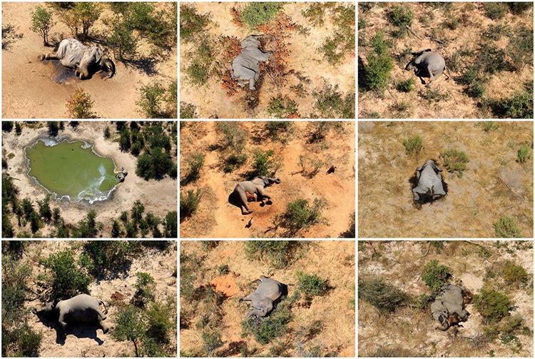 Voi chết la liệt ở đồng bằng Okavango. Ảnh: Reuters.
