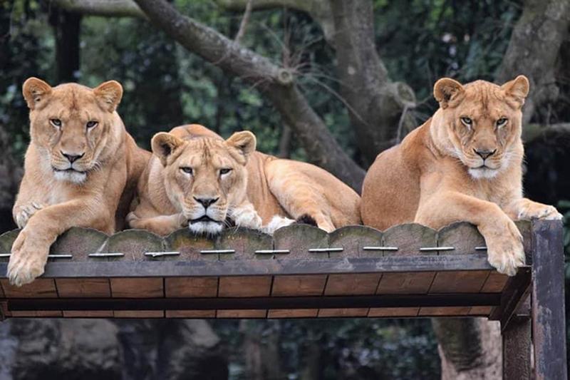 Sư tử thật xem sư tử giả sổng chuồng - 6
