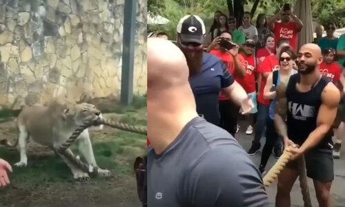Sư tử thật xem sư tử giả sổng chuồng - 11